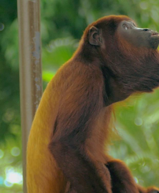 Mono aullador - Ronda del Sinu